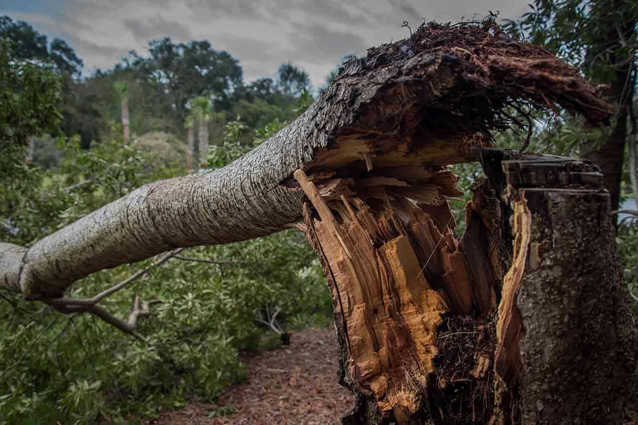 Split Tree Storm Damaged Tree Repair Work