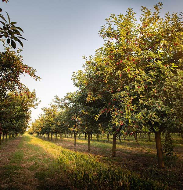 Fruit Trees Orchard Planting Maintenance