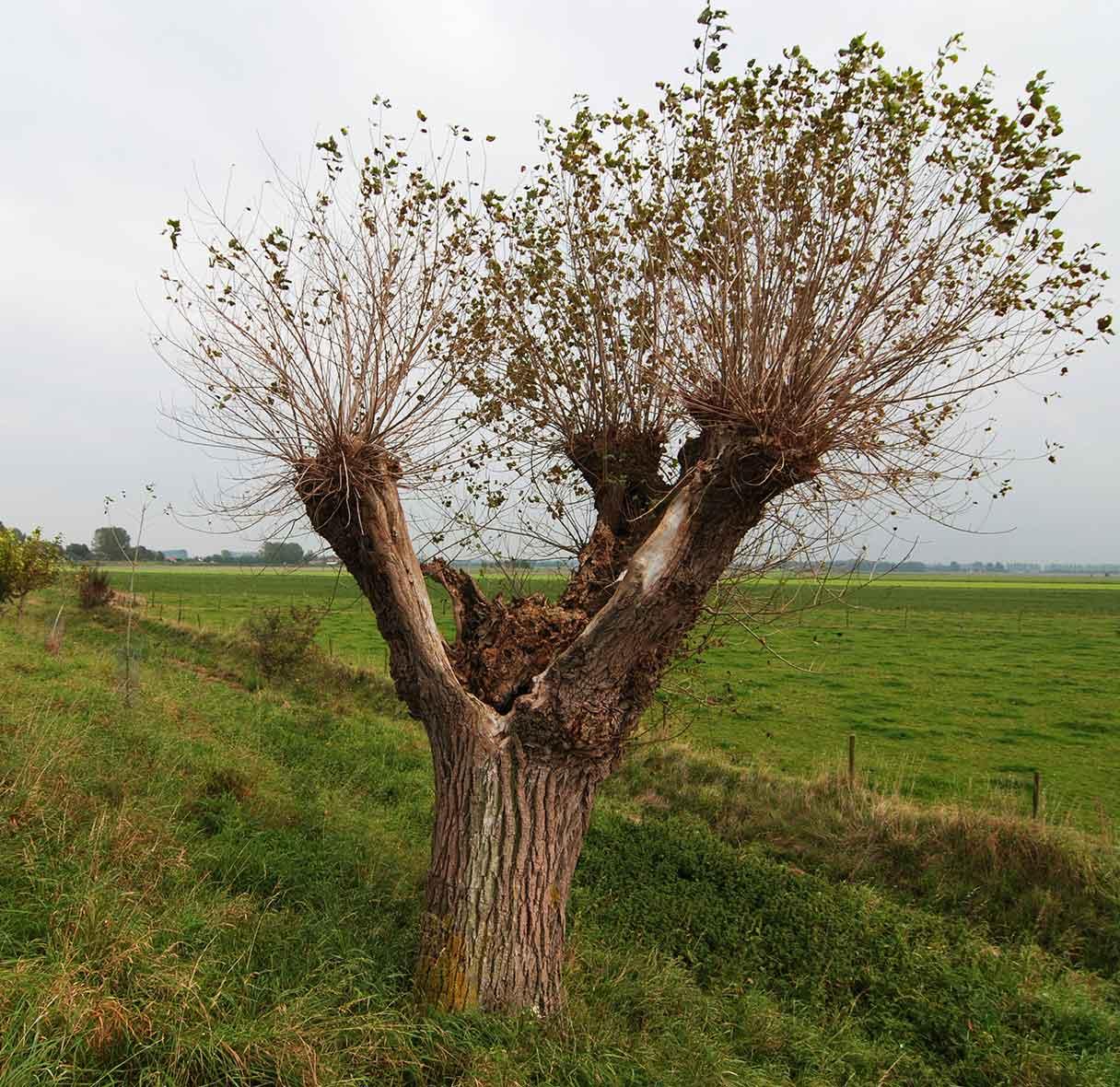 Pollarded Willow Tree Pruning Scotland