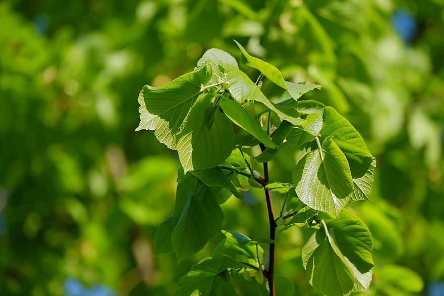 Common Lime Tree Species
