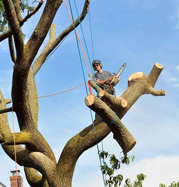 Tree Felling in Musselburgh