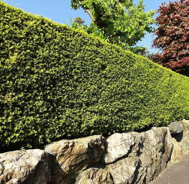 Hedge Cutting in North Berwick, East Lothian